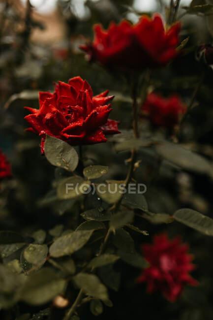 Красная роза с мокрыми лепестками, растущими на зеленом кусте в саду — стоковое фото