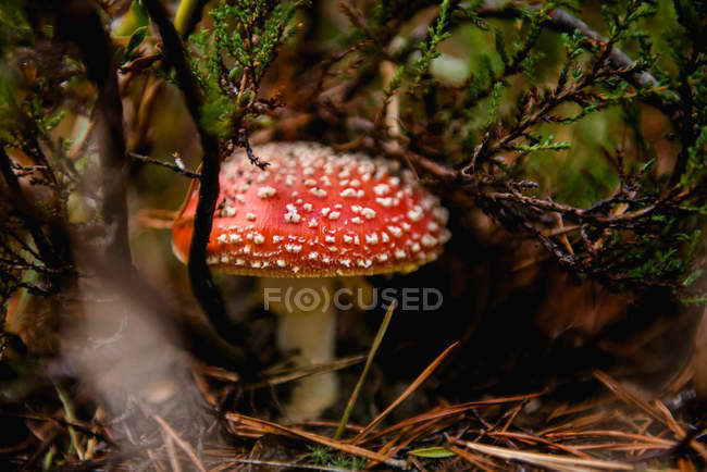 Beautiful big amanita with shiny red hat in dark grass under tree branches — Stock Photo