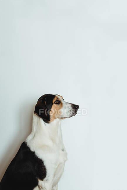 Вид сбоку послушной собаки, стоящей неподвижно и ожидающей команды хозяина — стоковое фото