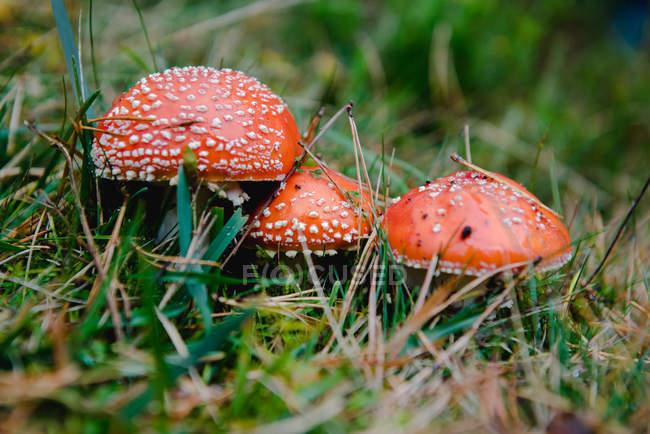 Grande mosca agarica con cappelli rossi in erba — Foto stock