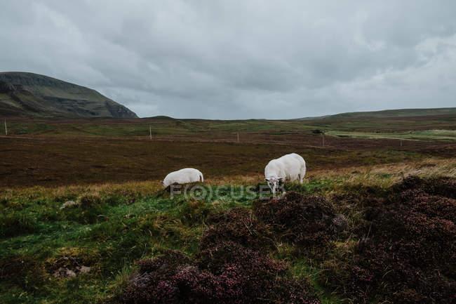 Vacas pastando en pastos de otoño en el día nublado en el valle en Escocia - foto de stock