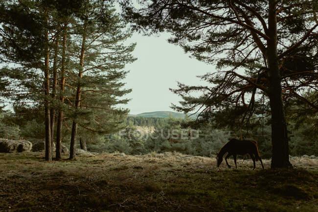 Tranquillo cavallo mangiare erba a prato da foresta — Foto stock