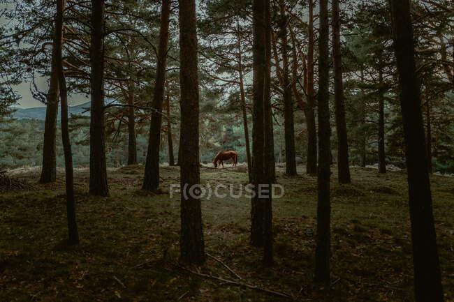 Мирная лошадь ест траву на лугу за лесом — стоковое фото
