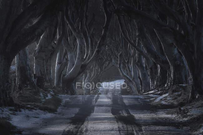 Тоннель гигантских буковых лиственных деревьев Ирландии — стоковое фото