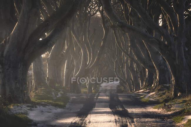 Túnel de árboles gigantes de haya sin hojas en Irlanda - foto de stock