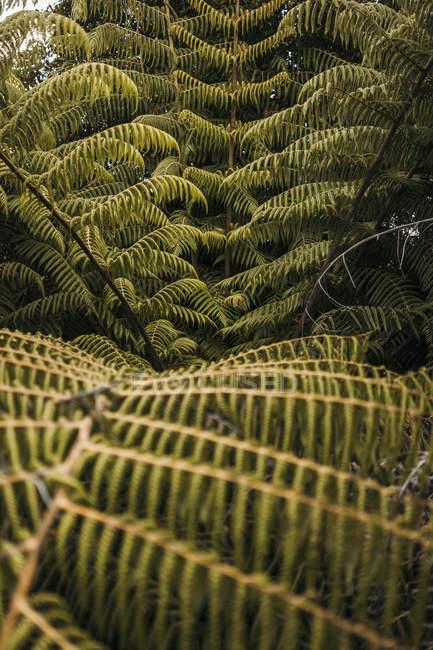 Grandes feuilles vertes de fougères tropicales avec verdure sauvage de la jungle de la péninsule de Coromandel, Nouvelle-Zélande — Photo de stock