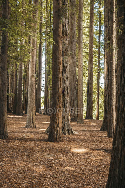 Big powerful pines with green foliage on twigs at Red Wood forest of New Zealand — Stock Photo
