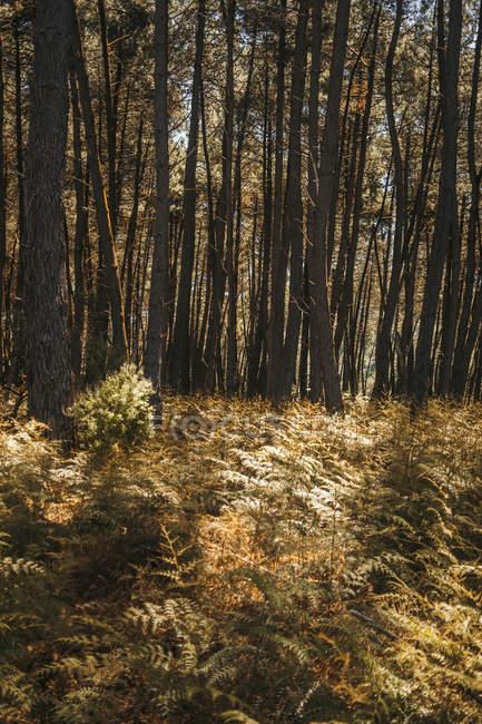 Большие мощные сосны с зеленой листвой на ветвях в лесах Красного леса Новой Зеландии — стоковое фото