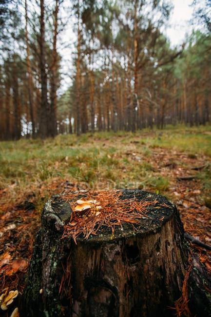 У соснових лісах ростуть дикі гриби. — стокове фото