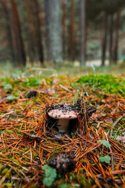 Fresh Saffron Milk Cap mushroom growing on forest floor in pinewood — Stock Photo