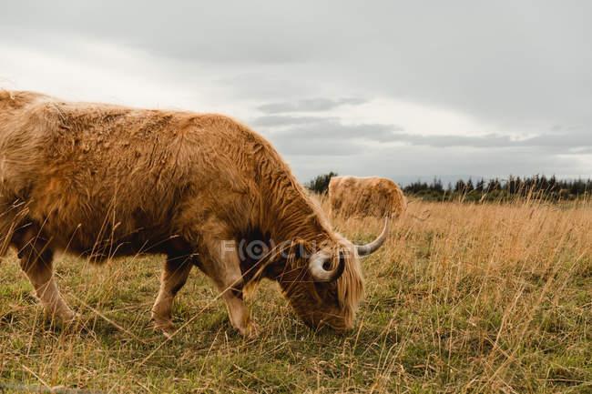 Vue latérale d'une vache roux des Highlands broutant avec un troupeau sur un pâturage avec de l'herbe brune et verte le jour nuageux en Écosse — Photo de stock