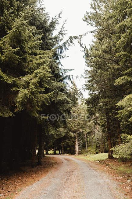 Landscape of spruce forest road in Scotland — Stock Photo