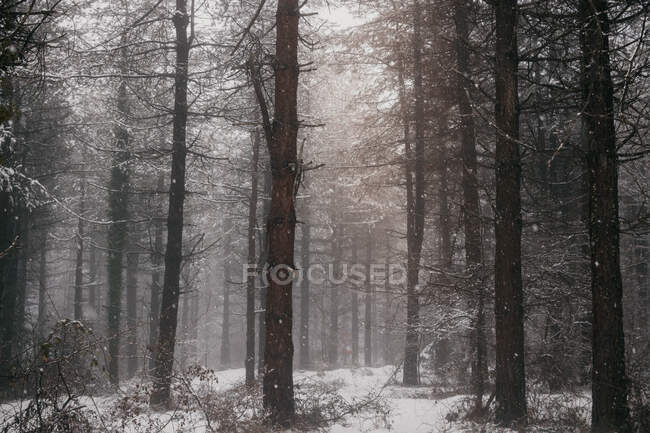 Winter forest with snowy trees — Stock Photo