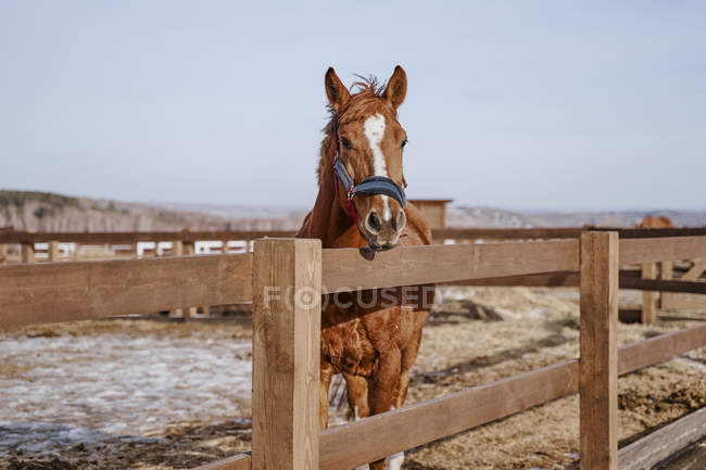 Large brown horse with white spot in forehead in bridle at hippodrome with wooden fence — Stock Photo