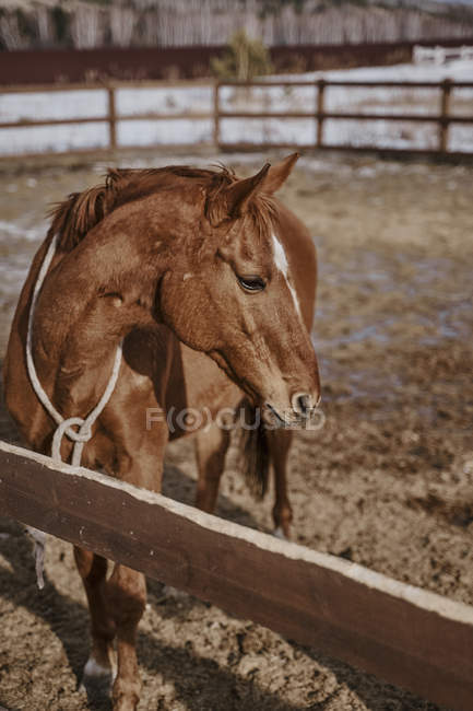 Brown horse in snaffle behind wooden fence — Stock Photo