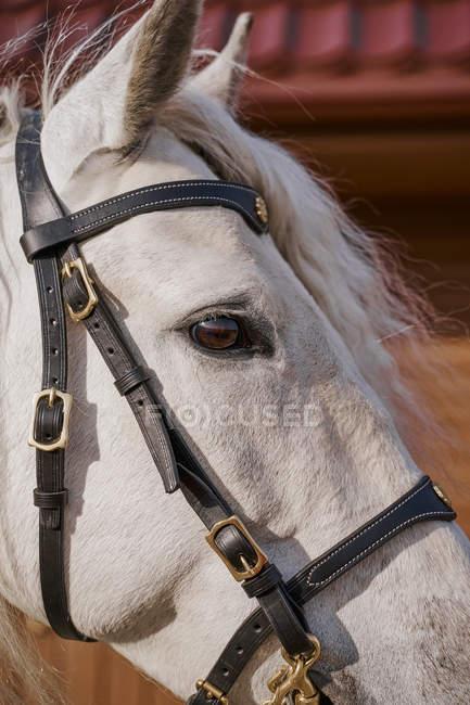 Face de cheval gris avec oeil brun et bride, gros plan — Photo de stock
