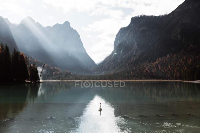 Cygnes dans le lac au milieu de belles forêts et montagnes — Photo de stock