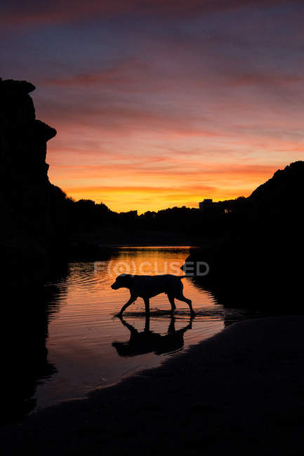 Silhouette of dog walking in lake water during bright sundown in countryside. - foto de stock