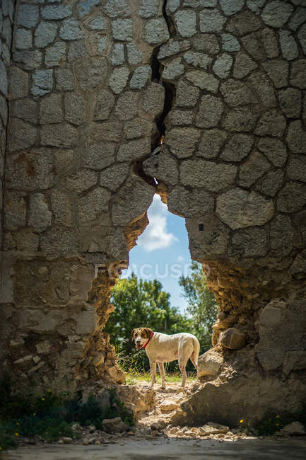 Funny dog standing behind hole in aged stone wall on sunny daytime in countryside — стокове фото