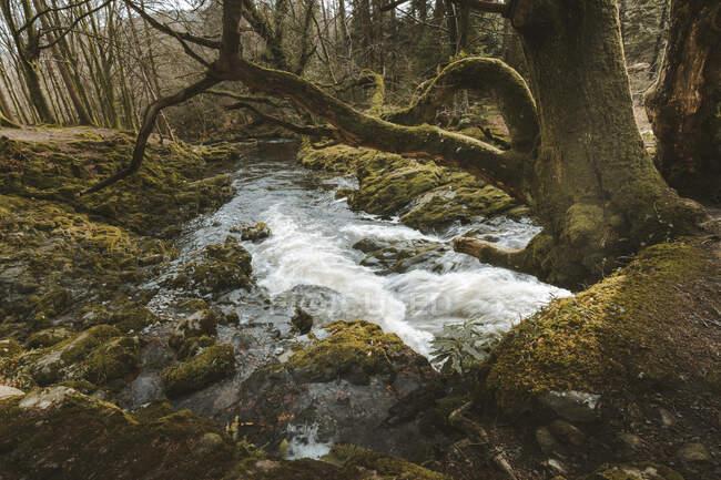 Paisaje primaveral de parque forestal con un pequeño río que fluye entre árboles viejos y piedras cubiertas de musgo en Irlanda del Norte - foto de stock