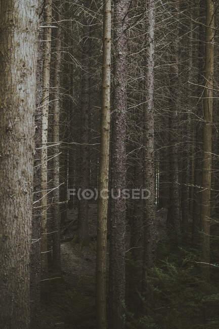 Высокие высокие лиственные деревья в лесу в Северной Ирландии — стоковое фото