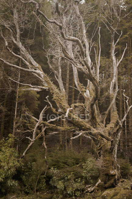 Aged leafless tree with curved trunk and branches covered with moss growing in spring forest park in Northern Ireland — Stock Photo