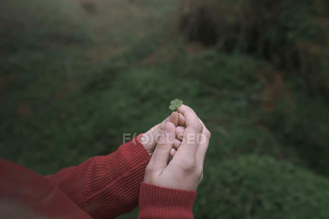 Руки жінки - мандрівника в червоному светрі, що тримає невеликий листок конюшини з розмитими зеленими рослинами на задньому плані під час прогулянки лісовим парком у Північній Ірландії. — стокове фото