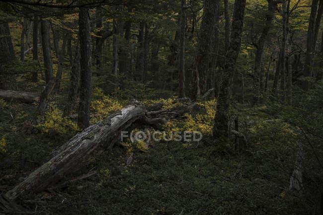 Tronchi d'albero caduti in una foresta verde ricoperta di erba verde nel Parco Nazionale Torres del Paine, Cile — Foto stock