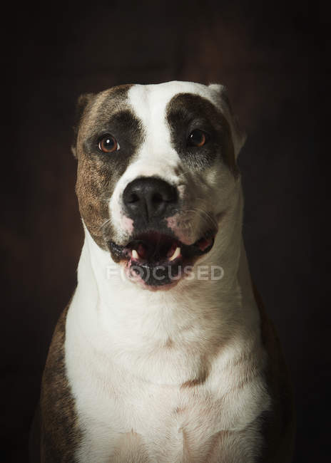 Brown and white dappled Staffordshire Terrier dog sitting and looking with interest against black background — Photo de stock