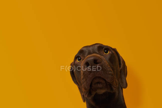Calm attentive brown Vizsla dog head against orange background — Foto stock