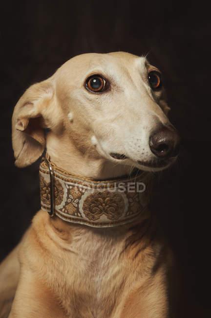 Alert attentive brown sighthound dog in fancy collar, studio shot — стоковое фото