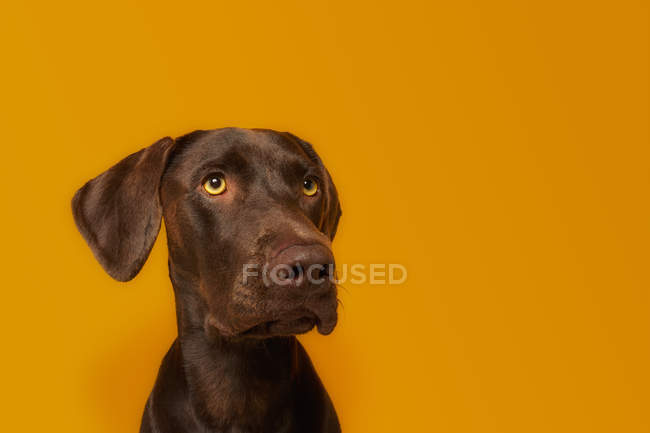 Obedient alert Vizsla dog with glossy brown hair and amazing yellow eyes looking away against vivid orange background — Foto stock