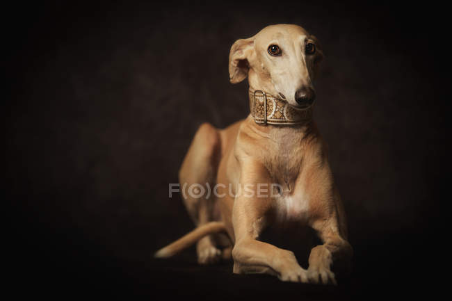 Obedient brun Chien nocturne à col large et tendance, photo de studio — Photo de stock