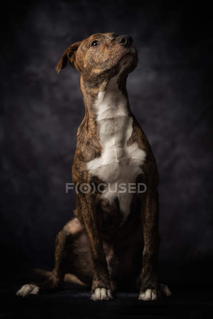Calm dappled Staffordshire Terrier dog with brown and white fur sitting with proud posture in studio — Photo de stock