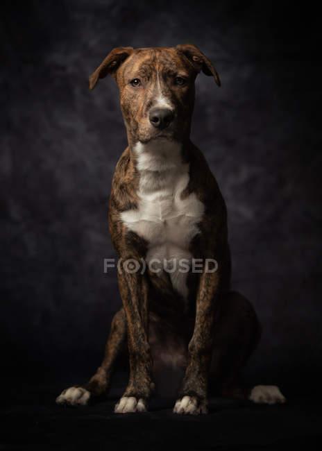 Orgoglioso cane americano macchiato Terrier seduto in studio — Foto stock