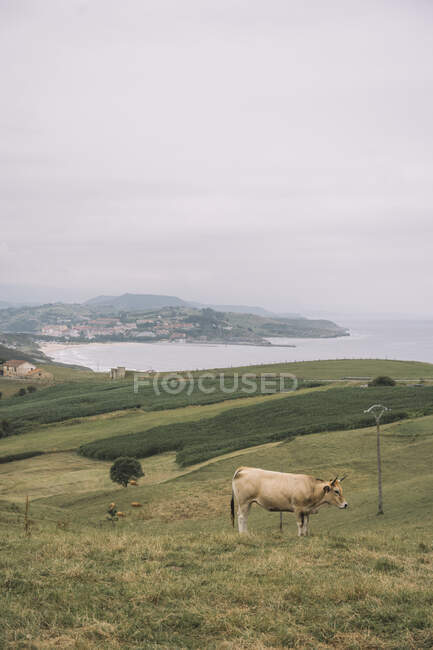 Brown cow grazing on green empty fields with small village along seashore on background at Comillas Cantabria at Spain — Stock Photo