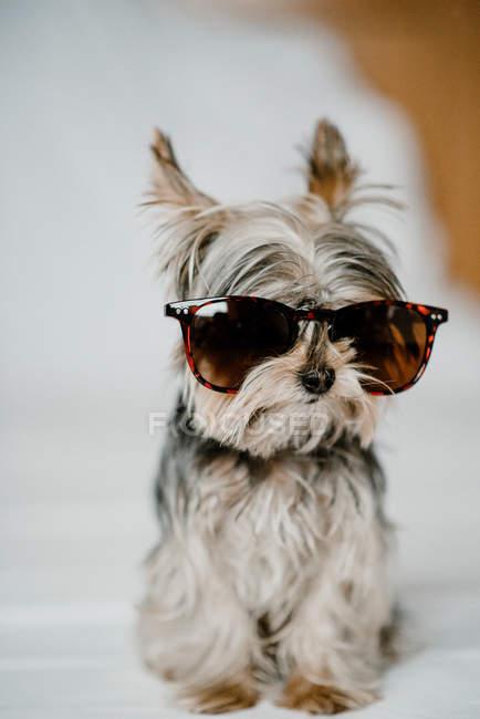 Cão pequeno engraçado Yorkshire terrier sentado calmo em óculos de sol elegantes no fundo branco no estúdio — Fotografia de Stock