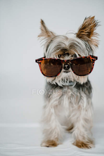Funny small dog Yorkshire terrier sitting calm in stylish sunglasses on white background at studio — Photo de stock