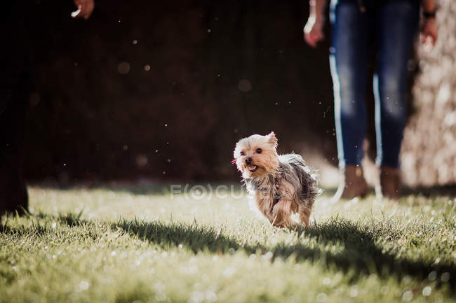 Funny tiny brown Yorkshire terrier scampering on green grass behind owner — Stock Photo