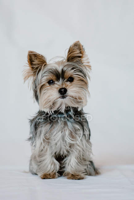 Cute fluffy dog Yorkshire sitting calm and looking in camera at studio — стокове фото
