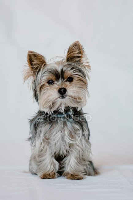 Niedliche flauschige Hund yorkshire sitzt ruhig und schaut in die Kamera im Studio — Stockfoto