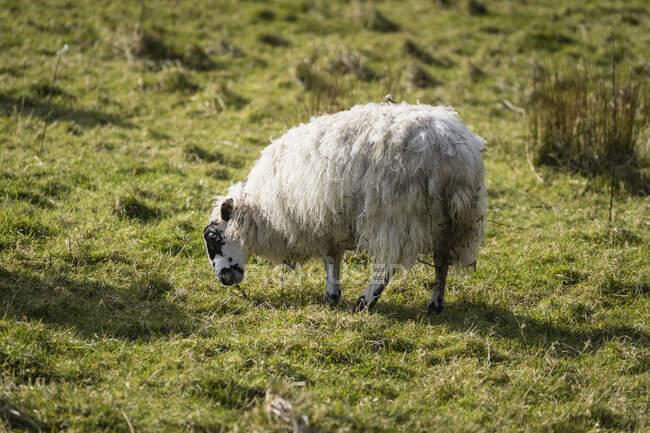 Ovejas blancas pastando en la colina con hierba verde de primavera en Irlanda del Norte - foto de stock