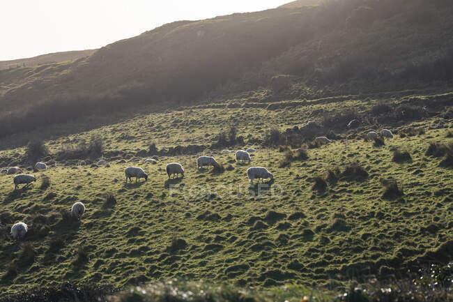 Белые овцы пасутся на холме с зеленой весенней травой в Северной Ирландии — стоковое фото