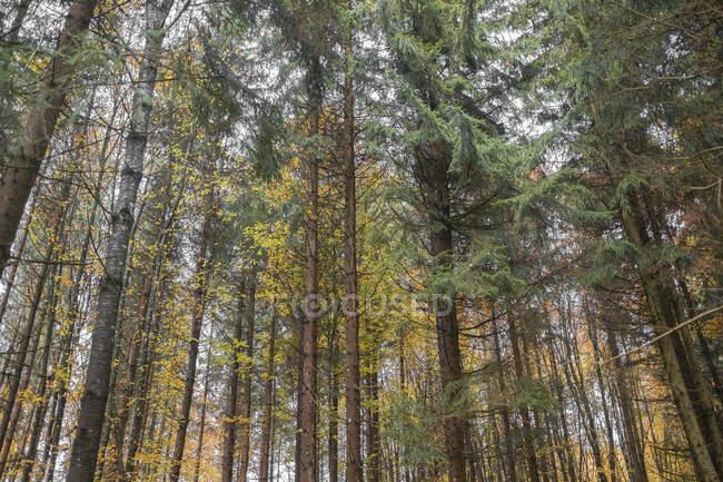 Привабливий осінній ліс з тоненькими високими деревами і золоте листя. — стокове фото