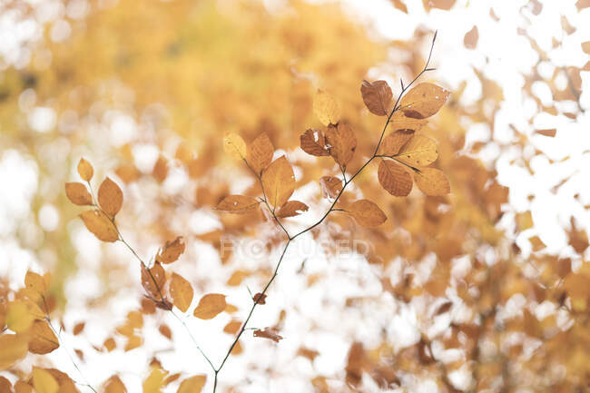 Dry transparent leaves of tree on branch illuminated with bright sunlight — Stock Photo