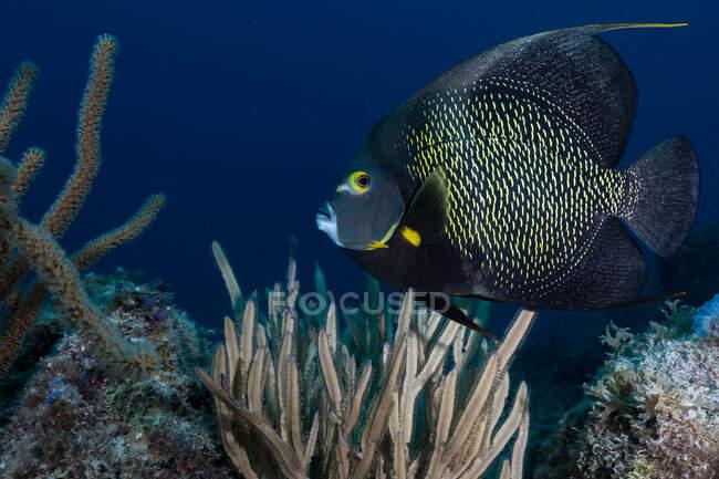 Большая чёрная рыба с жёлтыми глазами на дне океана — стоковое фото