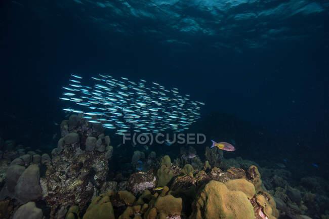 Ecole de poissons dans le récif corallien — Photo de stock