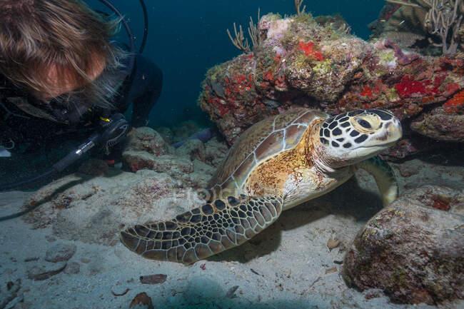 Buceador libre nadando bajo el agua con tortuga grande en el océano - foto de stock
