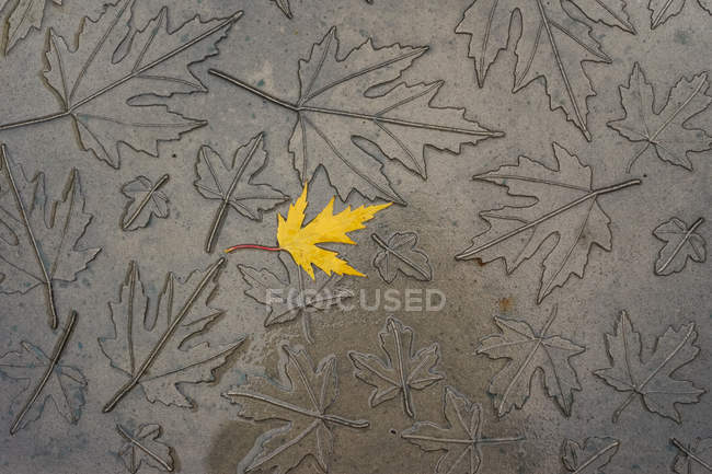 From above single golden maple leaf laying on gray texture with imprinted maple leaves — Stock Photo