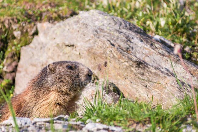 Adorable marmota alpina mirando desde la madriguera en las rocas en las montañas de Suiza - foto de stock